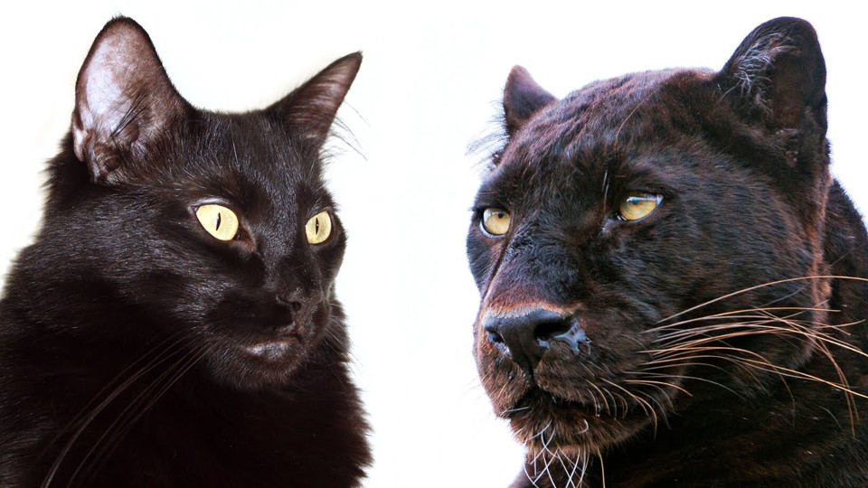 See Why Domestic Cats and Big Cats Are Similar!
