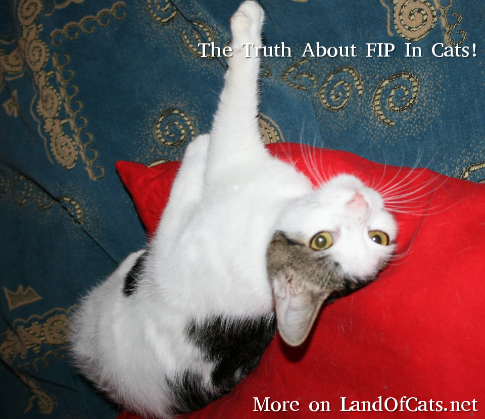 The Truth About FIP In Cats