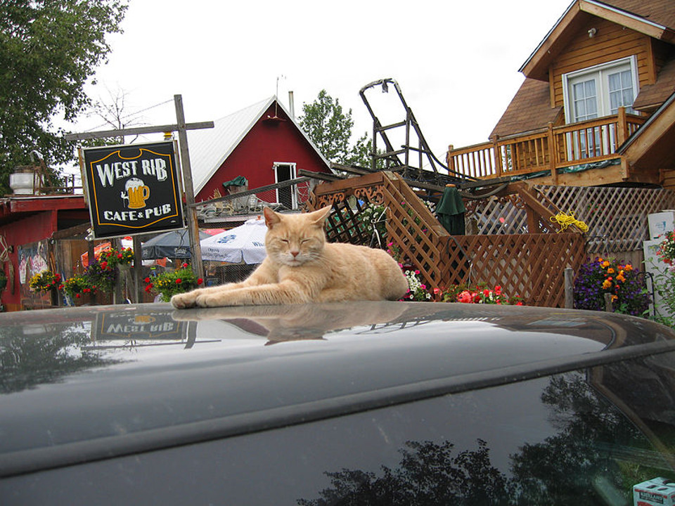 Mr. Stubbs, The Feline Mayor of Talkeetna, Alaska!
