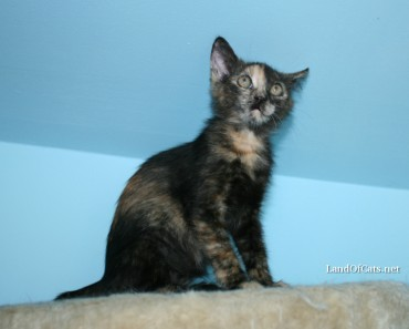 Are Tortoiseshell Cats Exclusively Females?