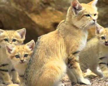 Sand Cats!