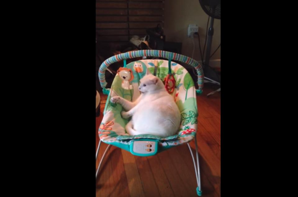 This Cat Thinks She Is A Human Baby!