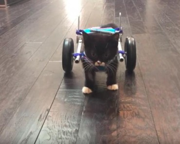 Miracle Kitten Cassidy And His First Steps In A Wheelchair!