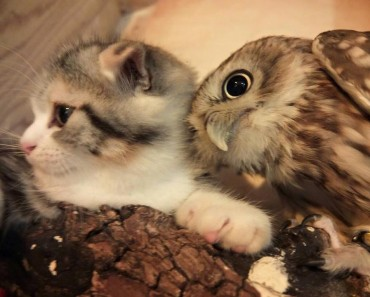 Kitten And Owlet Become Best Friends At A Japanese Owl Café