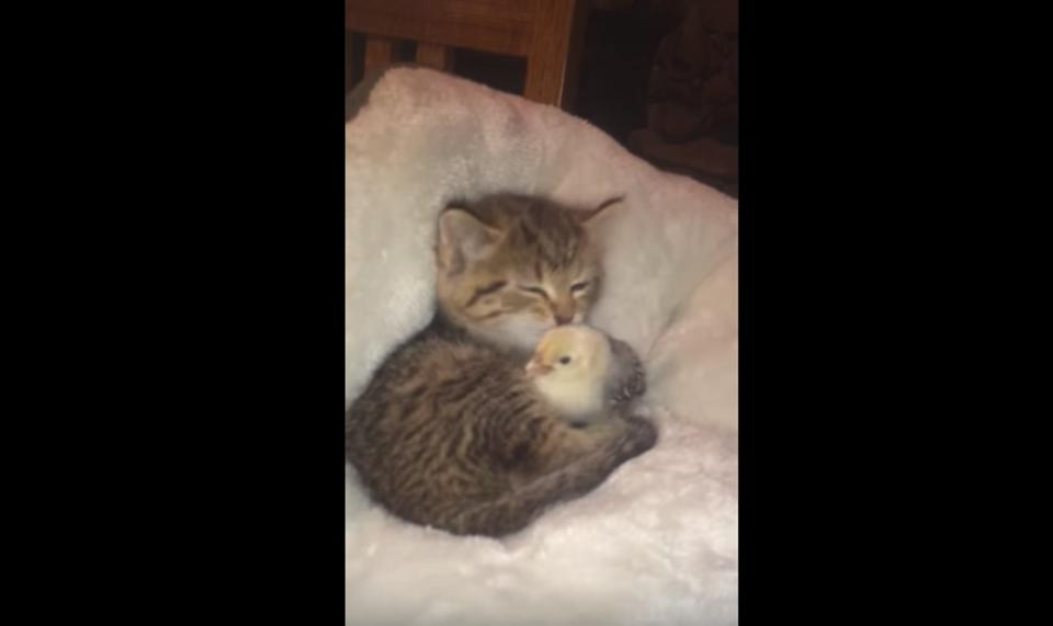 Kitten Can't Stop Loving And Kissing The Chick
