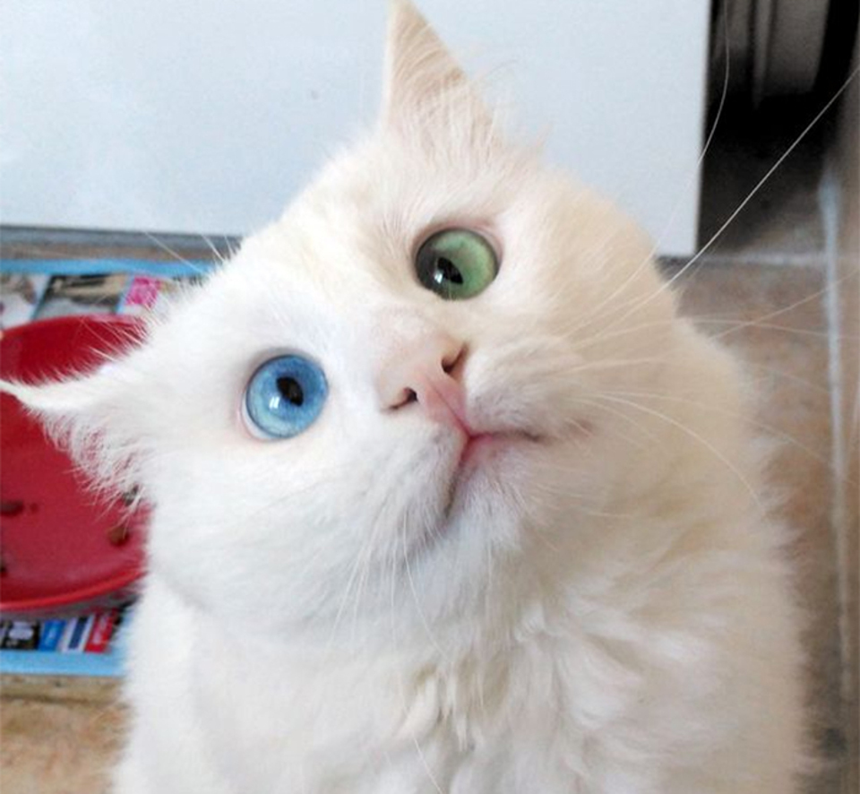 The world s most beautiful eyes an odd eyed cat for Gatti con occhi diversi