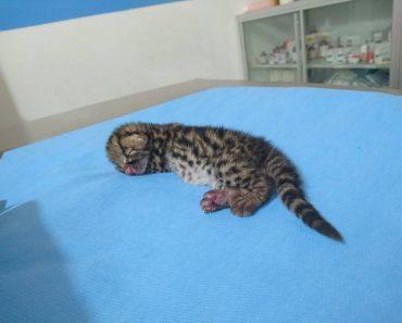 Tiny Jungle Cat Rescued In Guatemala!