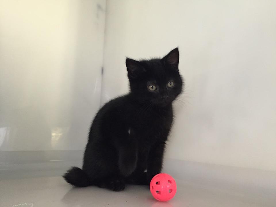 Very Rare Hermaphrodite Kitten In UK Shelter