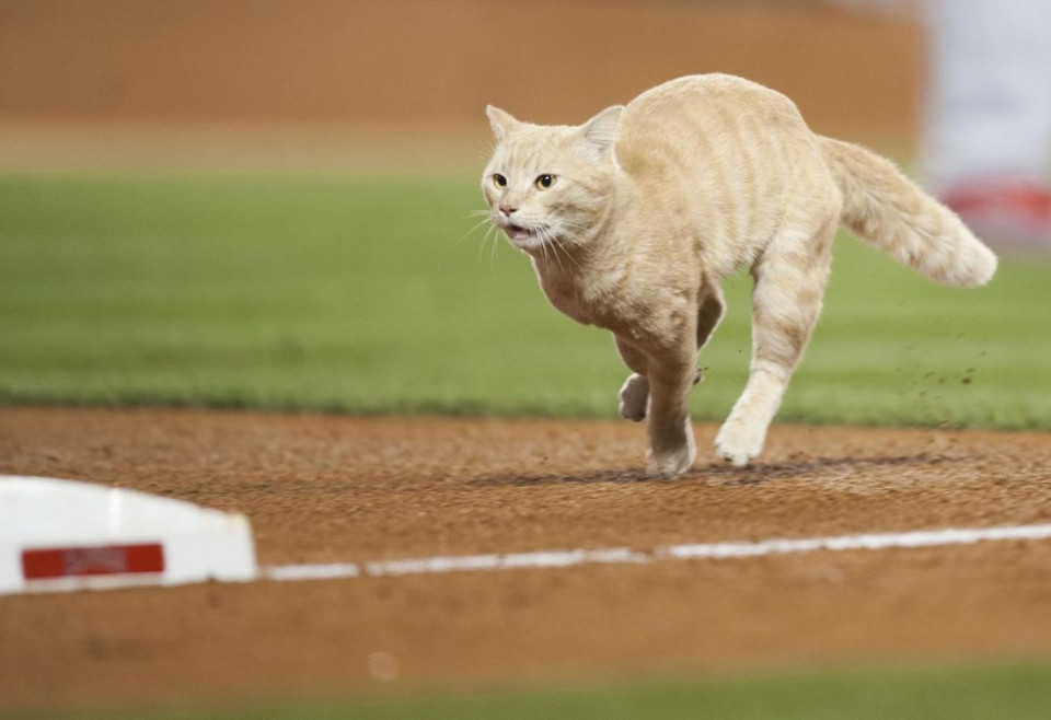 A Cat Interrupted Angels Baseball Game!