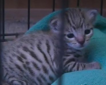 The Mysterious Exotic Kitten Found In An Indiana Barn Is Doing Well!
