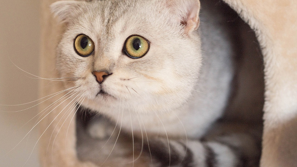 Los Angeles Bans Pet Stores from Selling Breed Cats!