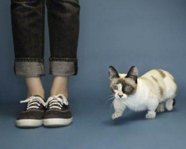 The World's Shortest Cat!