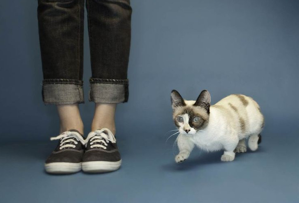 The World's Shortest Cat!