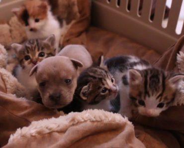 Mother Cat Adopts Newborn Puppy
