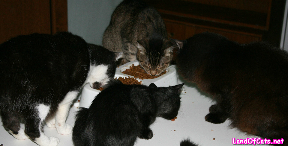 Keeping Your Cats On Diet Food!