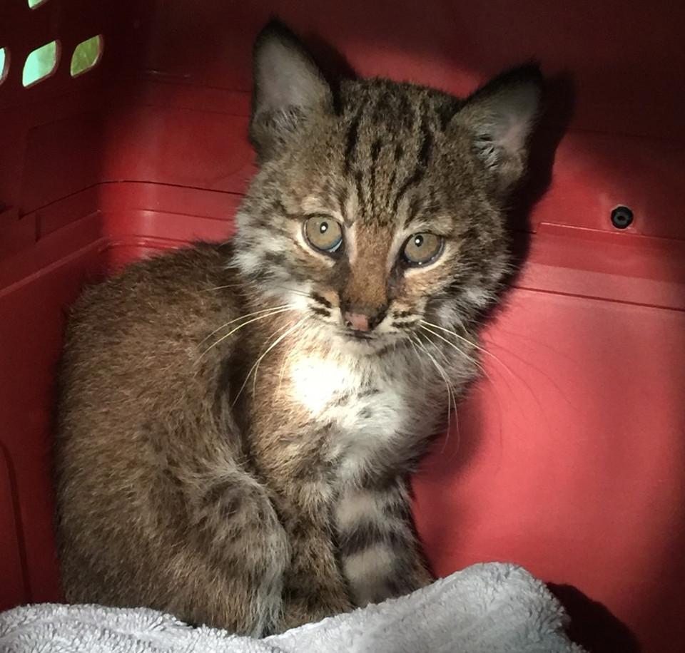 A Rescued Stray Kitten Isn't What She Seems