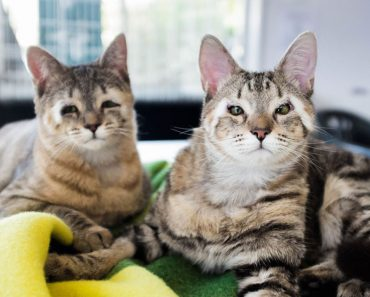Kittens Born Without Eyelids Rescued By Loving Couple!