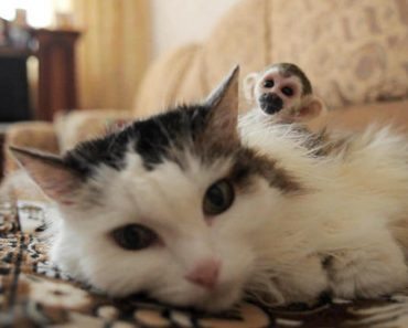 Russian Senior Cat Adopts Abandoned Baby Squirrel Monkey From Zoo!