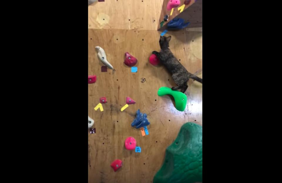 Rescue Cat Shows Off Her Amazing Rock-Climbing Skills!