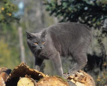Why The Cats On The Isle Of Man Have Lost Their Tails?