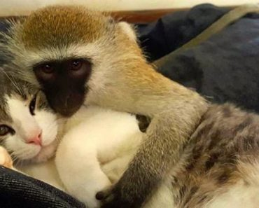 Baby Monkey Learned The Meaning Of Love And Friendship From Cats!