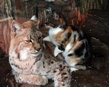 Cat And Lynx Become Inseparable Friends!