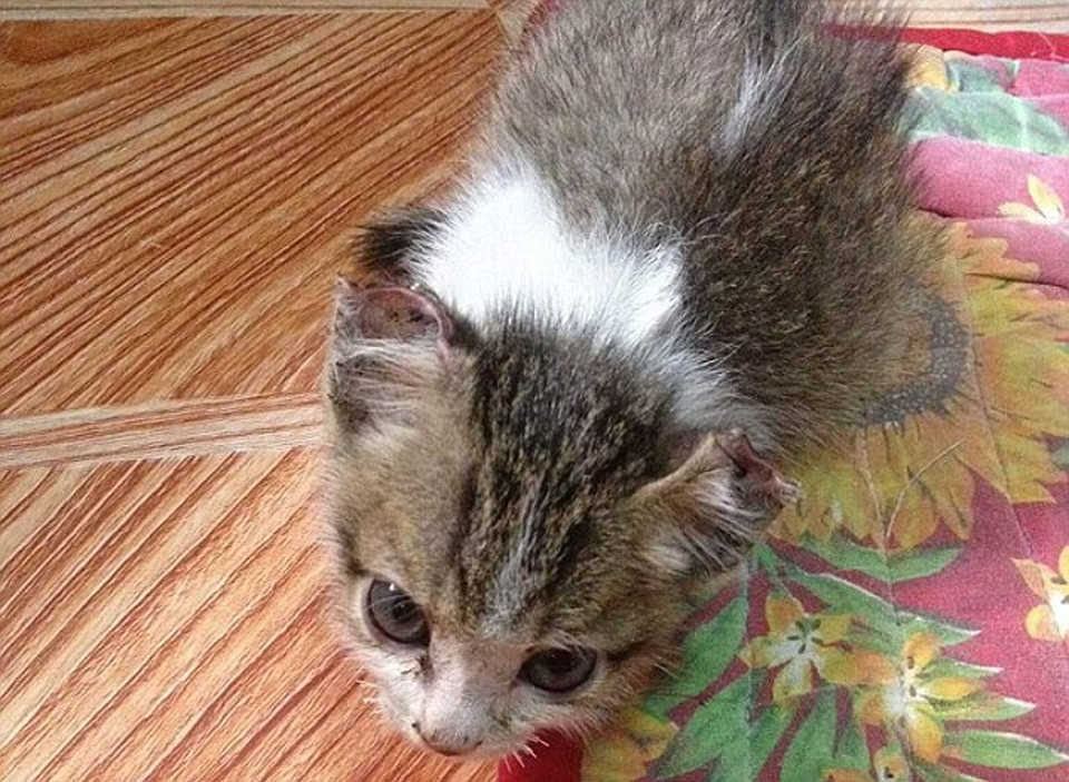 Kitten Rescued After Abusers Sewed Together Her Eyelids, Ears And Nose…