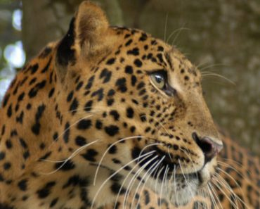 Leopard Who Had To Endure A Hard Life At A Roadside Zoo, Can Now Run And Play At Big Cat Sanctuary!