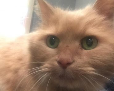 16 Year Old Ginger Cat Was Hiding in Corner. A Few Hours After Adoption…