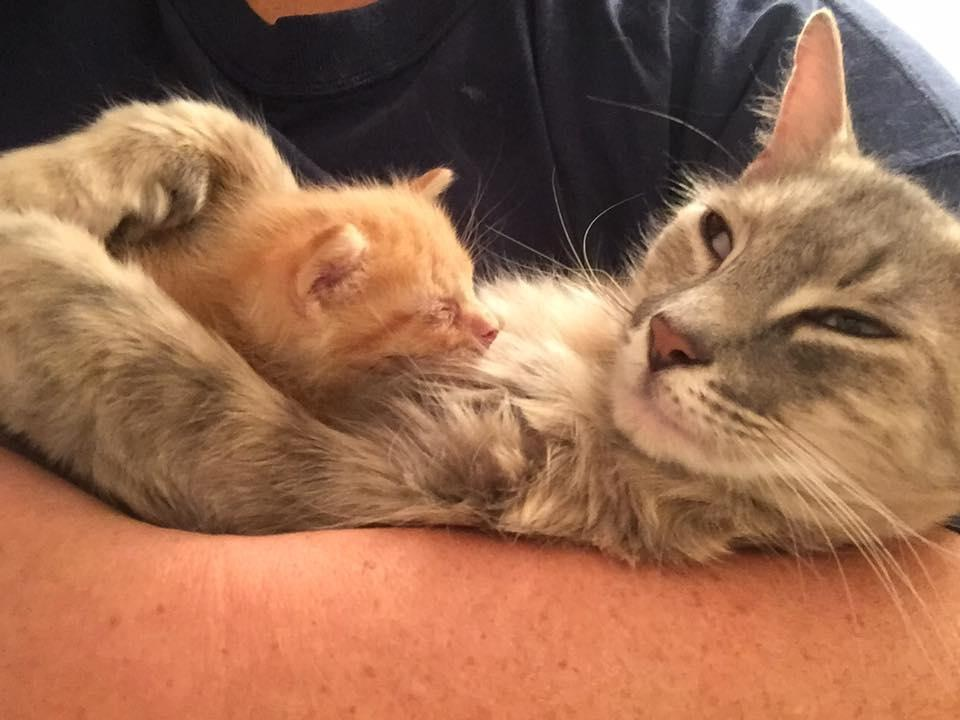Rescue Cat Mama Who Lost Her Kittens Finds Happiness When She Adopts Orphaned Kitten In Need