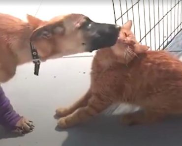 Cat Helps Injured Dog Walk Again!