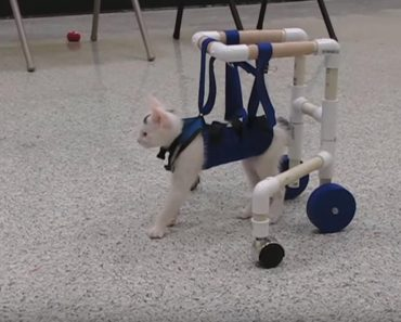 Kitten Born with Neurological Disorder Learns How To Walk!
