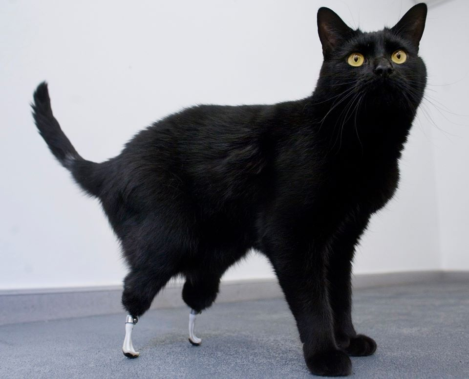 oscar the first cat with two bionic leg implants land of cats