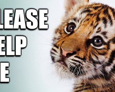 Reasons Why You Should Never Pay to Take Photos With Baby Tigers Or Pet Them