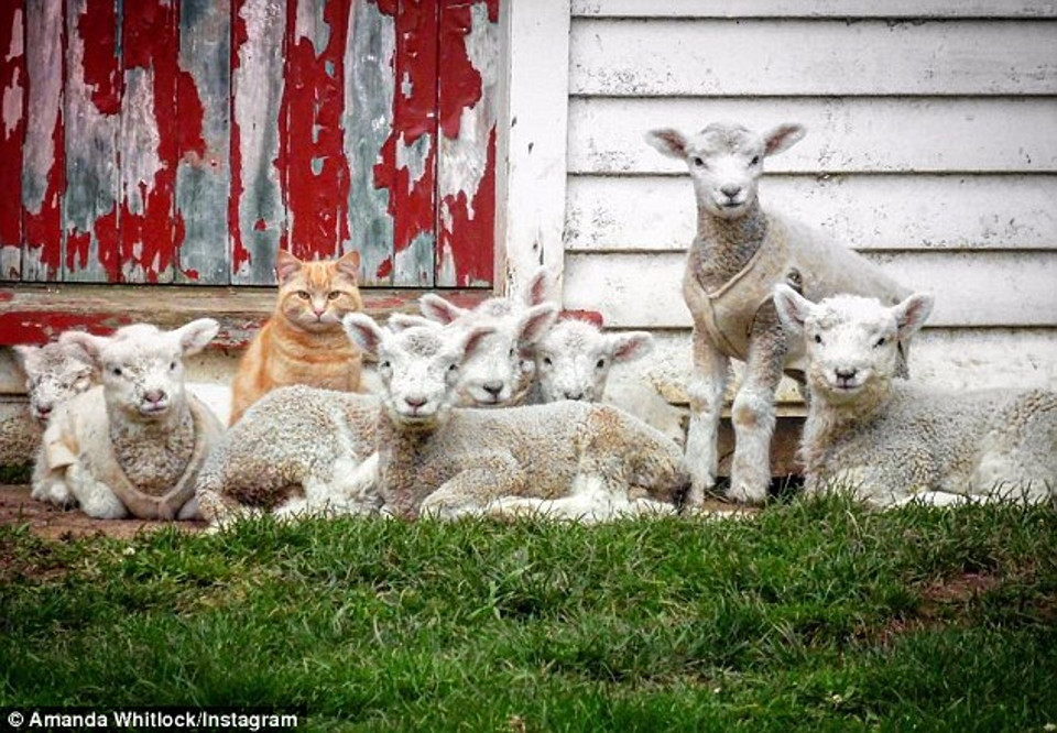 Steve, the Cat Who Thinks He's a Lamb!