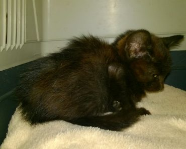 A Kitten Was Thrown Out Of Moving Car In Busy Traffic. She Was Saved At The Last Minute