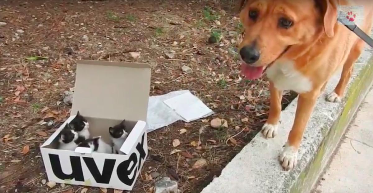Dog Finds an Abandoned Litter of Kittens, Then Becomes The Cutest Foster Dad