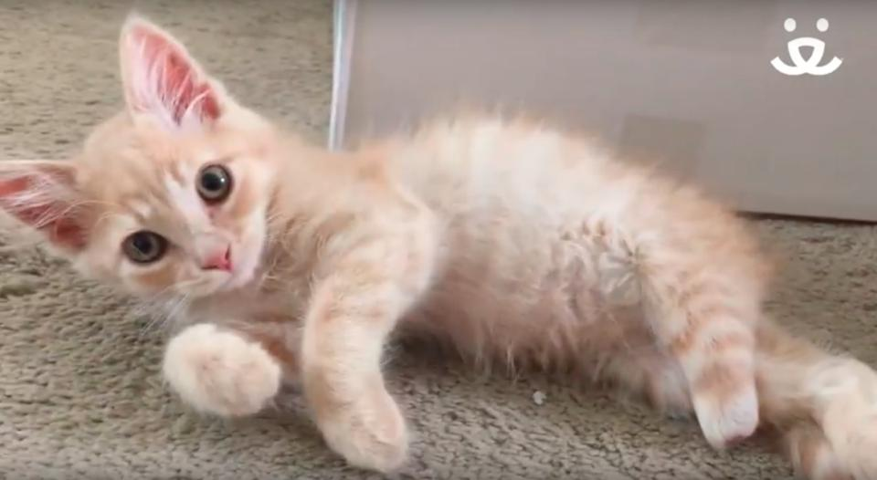 Ginger Kitten Was Living On The Street With A Missing Foot, But His Life Was Turned Around