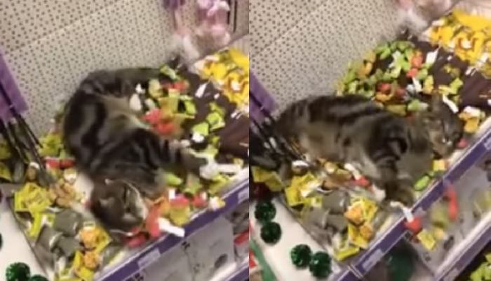 Lost Cat Was Found in Pet Store Rolling Around in Catnip Toys