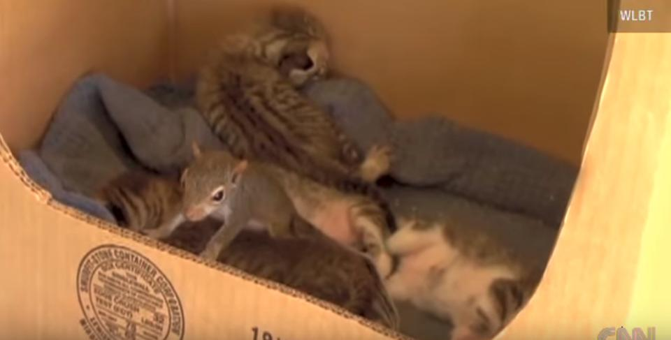 Rescued Squirrel Learned How To Purr From Mama Cat