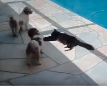 These Dogs Got On The Cat's Nerves, So She Decided To Take Action! Hilarious!