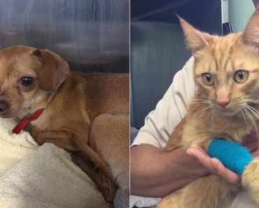 Cat And Dog Are In Emergency Care After Woman Left Them In 113-Degree Car…