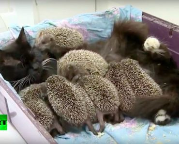 Cat Becomes Mom to 8 Unlikely Orphaned Babies