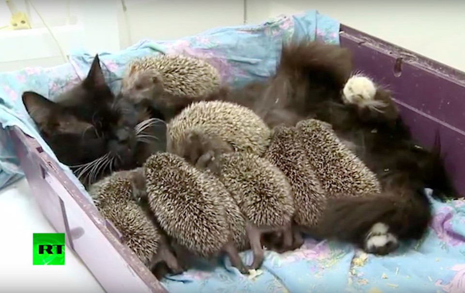 Cat Becomes Mom to 8 Unlikely Orphaned Babies!