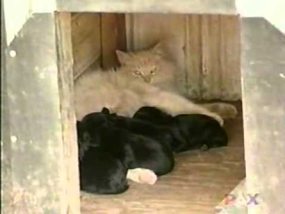 Cat Was Sad After Losing Her Babies. But She Met A Litter Of Puppies…