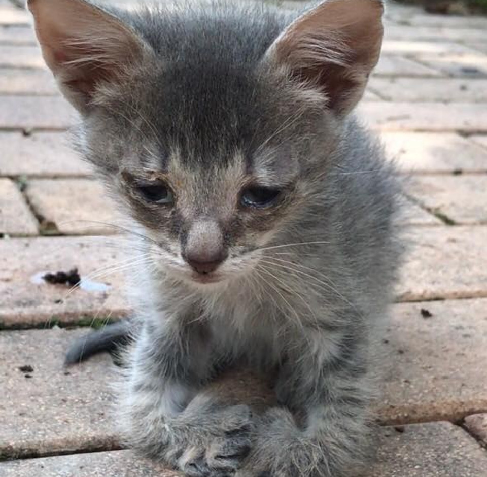 Kitten with Special Feet Walks Up To Woman And Asks For Help!
