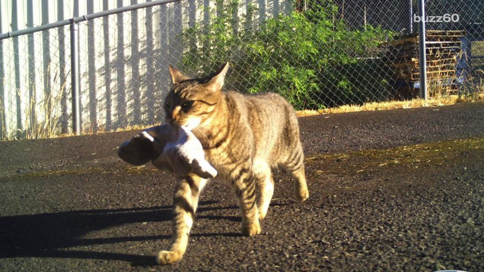 Cat Brings Home To His Police Officer Human A Bag Of Weed
