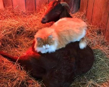 Cat Helps Pregnant Goat Through Contractions And Offers Her The Best Massage Ever
