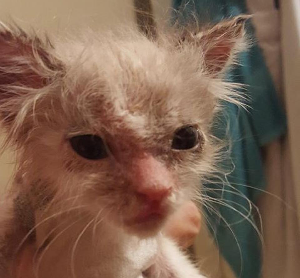 Jorah kitten