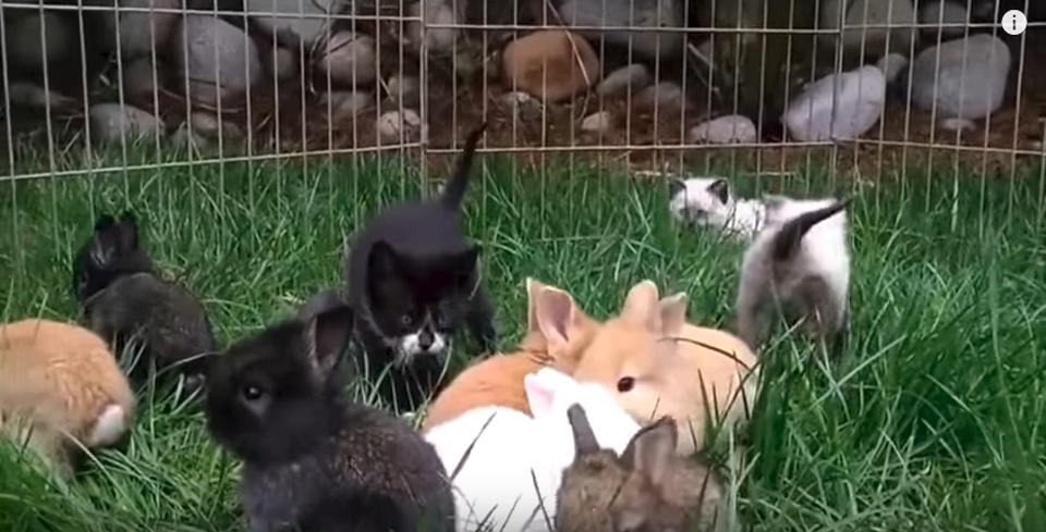 Kittens Raised By Rabbits,  Hop Now Like Rabbits